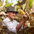 Stock Photo: Old mat corn harvest