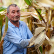 Stockfoto: Farmer at corn harvest
