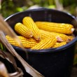 Bucket full of corn cobs — Stock Photo
