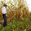 Stock fotografie: Farmer cutting corn with reaping hook