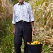 Old farmer holding a bucket full of corn cob — Stock fotografie