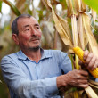 Farmer at corn harvest — Stock Photo #33713787