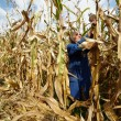 Stockfoto: Old female farmer at corn harvest