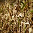Cornfield with withered corn — 图库照片
