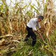 Stock Photo: Farmer cutting corn with reaping hook