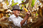Old man at corn harvest — Stock Photo
