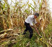 Farmer cutting the corn with the reaping hook — Stock Photo