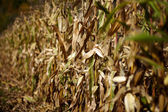 Cornfield with withered corn — Stock Photo