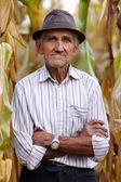 Old man at corn harvest — Stock Photo