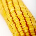 Corn cob grains — Stock Photo