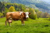 Healthy cow in mountains — Stock Photo