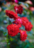 Red roses bush — Stock Photo