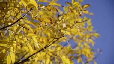 Close up autumn leaves over blue sky background — Stock Video