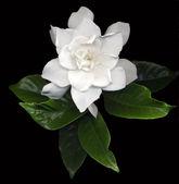 Gardenia — Stockfoto