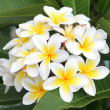 Frangipani — Stock Photo #15802383