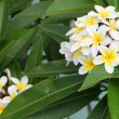 Frangipani — Stock Photo #15802409