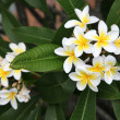 Frangipani — Stock Photo #15802437