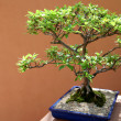 Bonsai — Stock Photo #15802677