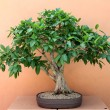 Bonsai — Stock Photo #15802679