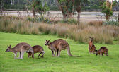 Kangaroo — Stock Photo