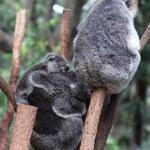 Koala — Stock Photo #22290927