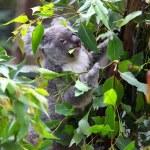 Koala — Stock Photo #22291313