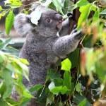 Koala — Stock Photo #22291325