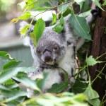 Koala — Stock Photo #22291329