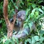Koala — Stock Photo #22291397