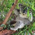 Koala — Stock Photo #22291529