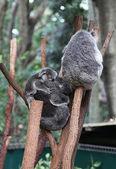 Koala — Foto de Stock