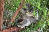 Koala — Stok fotoğraf