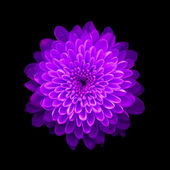 Purple Chrysanthemum on black background — Stock Photo