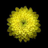 Yellow Chrysanthemum on black background — Stockfoto