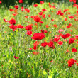 Poppies — Stock Photo #26802967