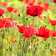 Poppies — Stock Photo #26802995