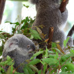 Koala — Stock Photo #36739587