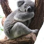 Koala — Stock Photo #36739597