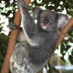 Koala — Stock Photo #36739641