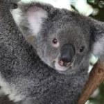 Koala — Stock Photo #36739677
