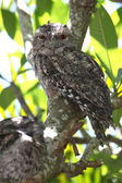 Tawny frog mouth — Stock Photo