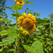 Stock Photo: Summer sunflowers