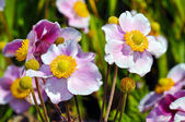 Pink japanese anemone — Stock Photo
