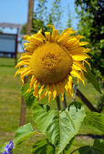 Big yellow sunflower — Stock Photo