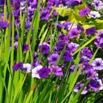 Purple petunia garden — Stock Photo
