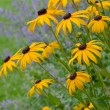Stock Photo: Yellow black eyed susans in summer