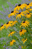Yellow black eyed susans in summer — Stock Photo