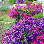 Colorful petunia garden — Stock Photo #12317947