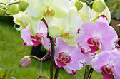 Pink and white moth orchids — Stock Photo