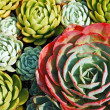Hens and chicks plants — Stock Photo